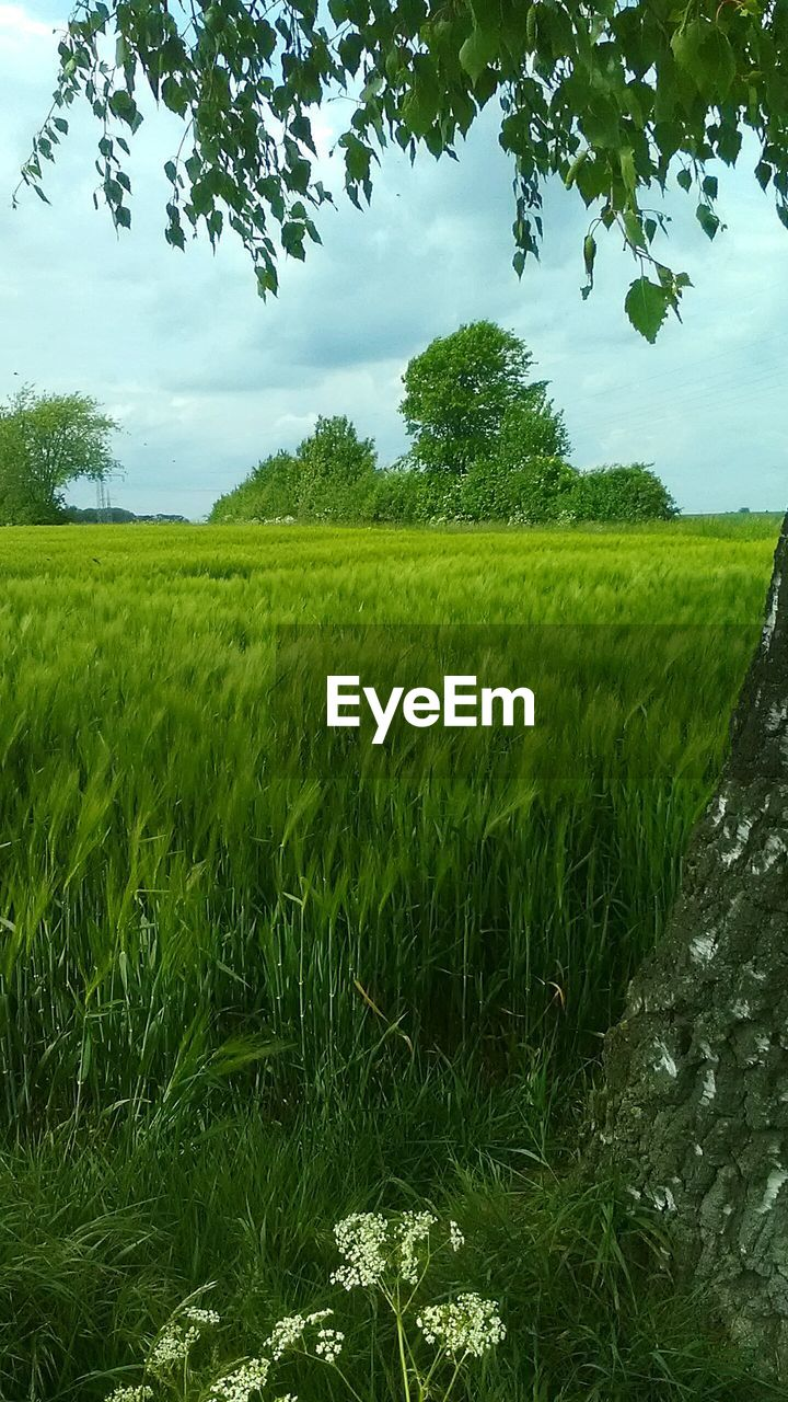 growth, field, nature, agriculture, green color, tree, beauty in nature, tranquil scene, farm, crop, rural scene, grass, landscape, tranquility, scenics, cultivated land, no people, day, outdoors, sky, rice paddy, plant, cereal plant, water, freshness