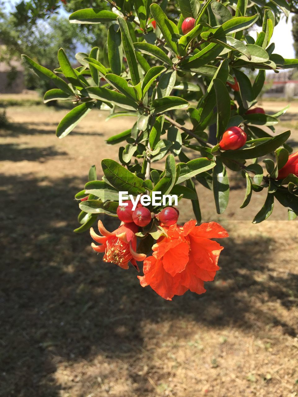 growth, nature, red, outdoors, freshness, beauty in nature, day, no people, plant, tree, focus on foreground, sunlight, fruit, close-up, food, flower
