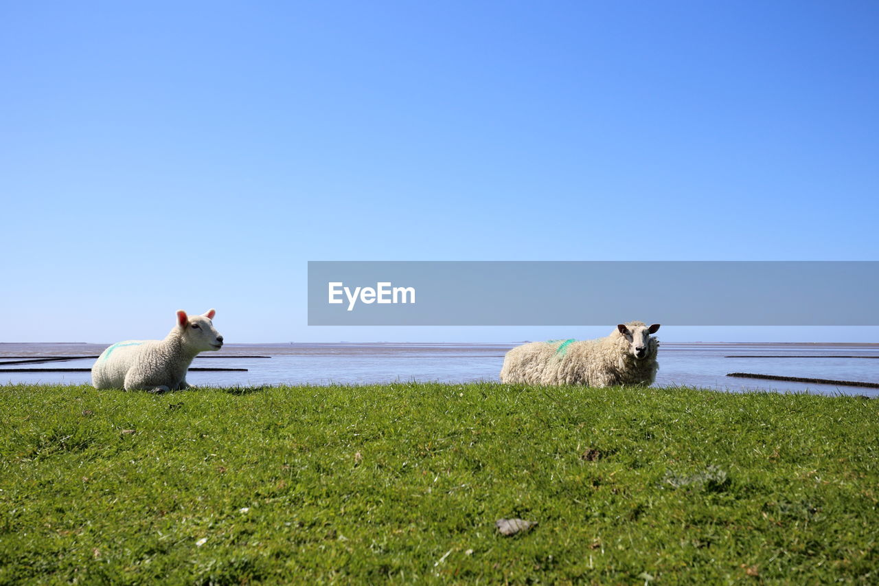 mammal, sky, pets, domestic animals, domestic, clear sky, animal themes, animal, vertebrate, grass, copy space, nature, one animal, land, plant, no people, beauty in nature, field, day, horizon over water