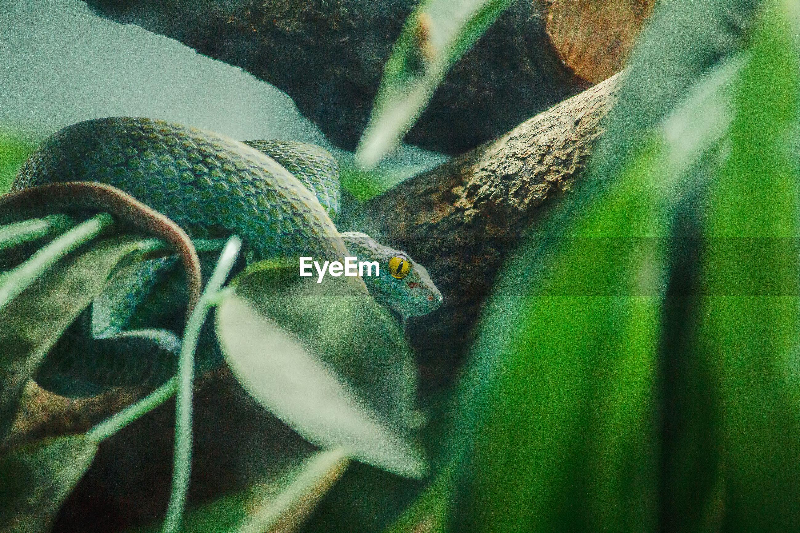 Corn snake is a popular snake.