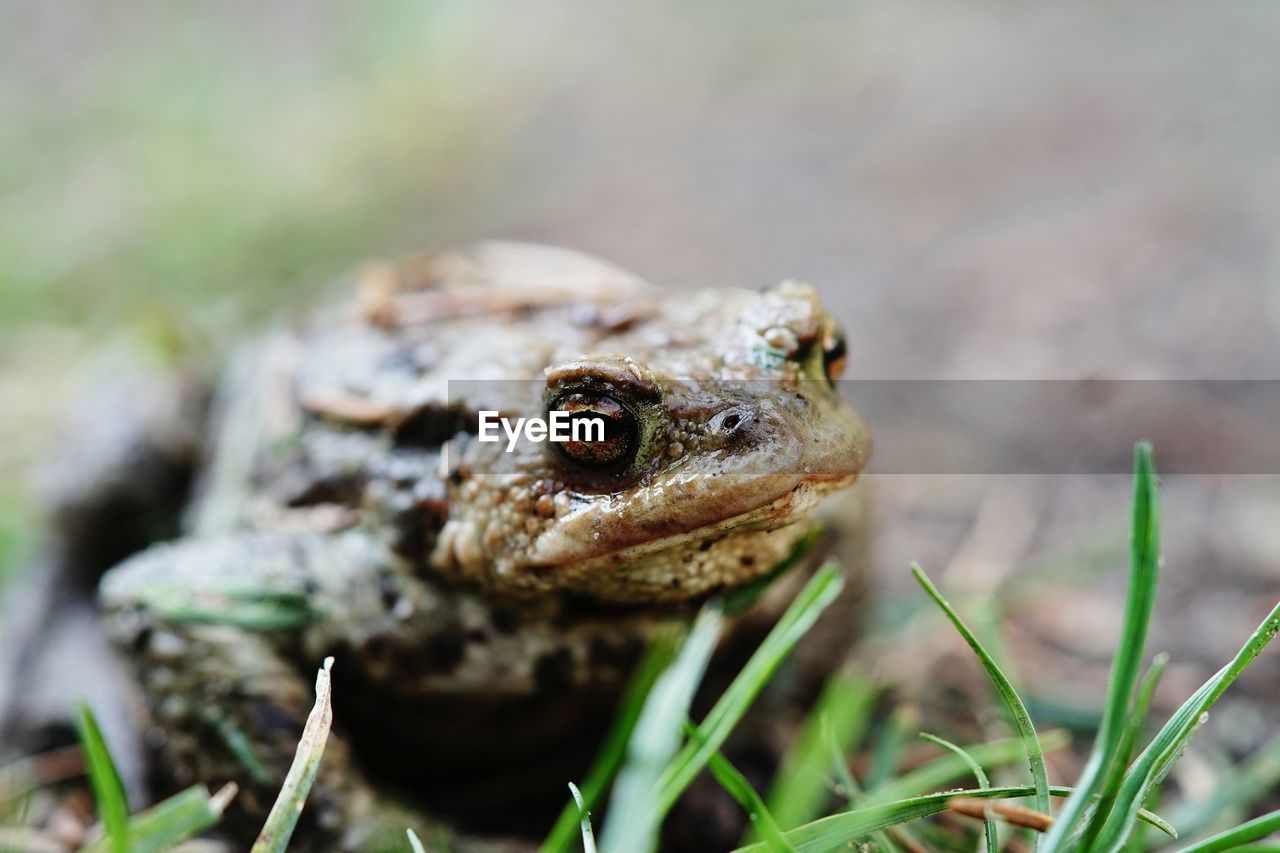 Close-up of toad on grass