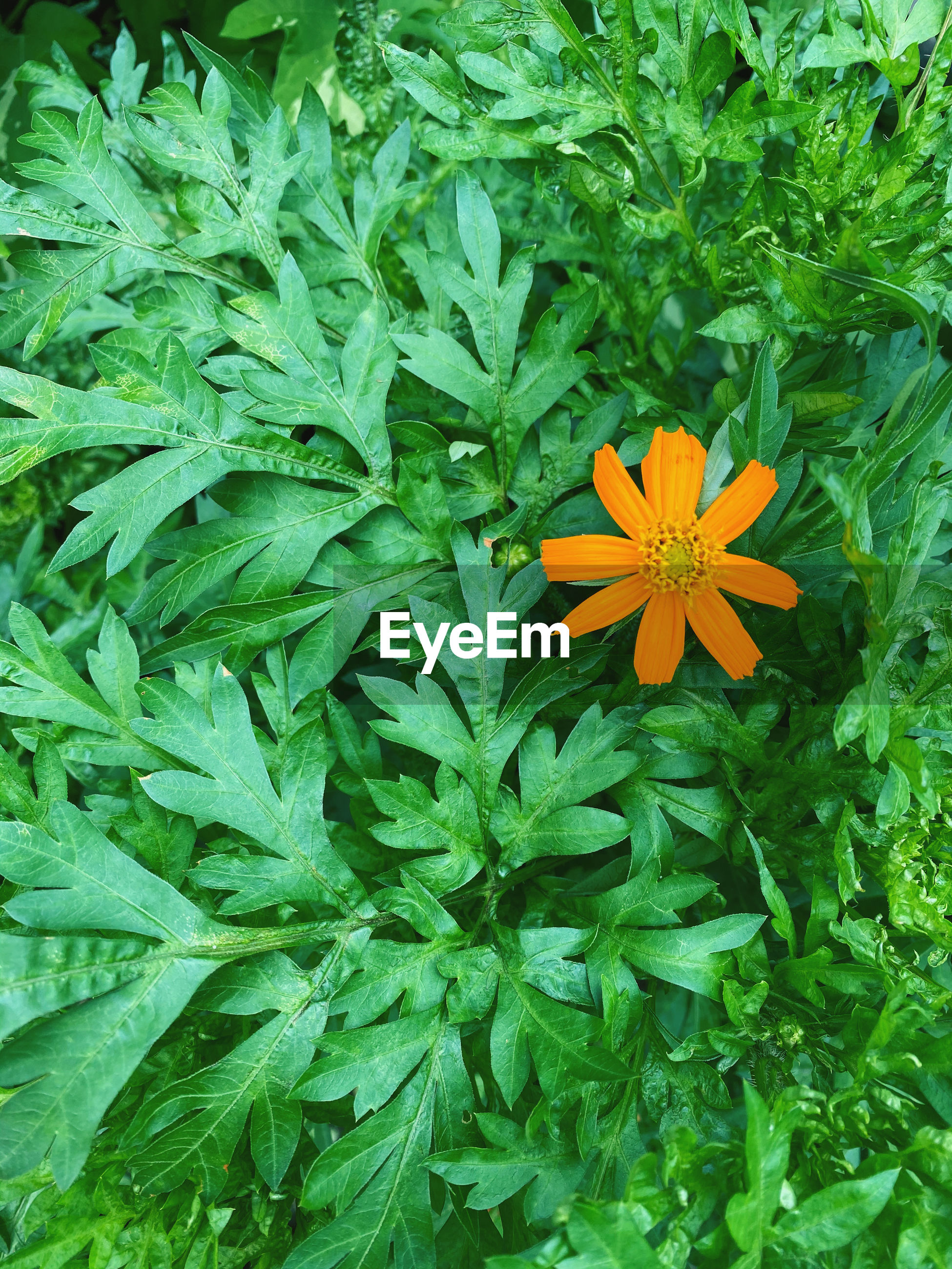 HIGH ANGLE VIEW OF ORANGE FLOWERING PLANTS ON PLANT