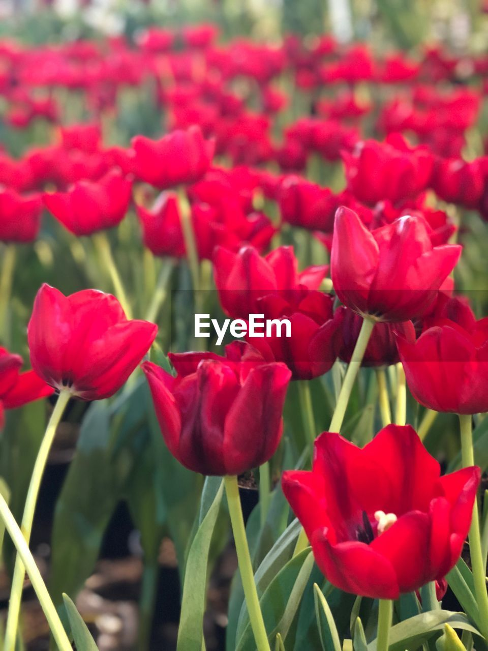 flowering plant, flower, plant, beauty in nature, freshness, fragility, vulnerability, petal, red, growth, close-up, tulip, inflorescence, flower head, nature, field, day, plant stem, land, no people, outdoors, flowerbed, spring