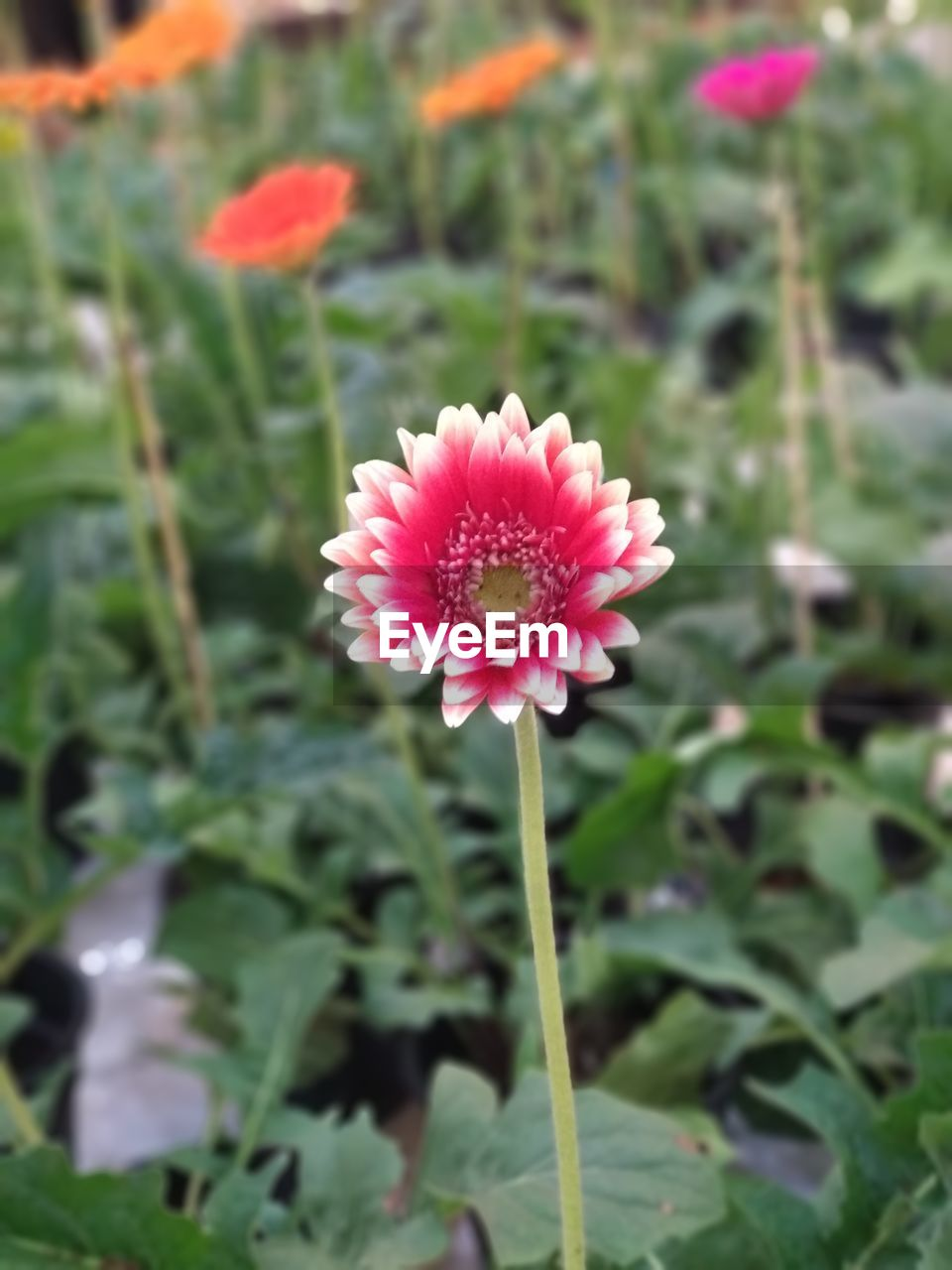 flower, beauty in nature, fragility, nature, petal, growth, flower head, freshness, plant, blooming, pink color, close-up, green color, outdoors, day, no people, focus on foreground, leaf, zinnia