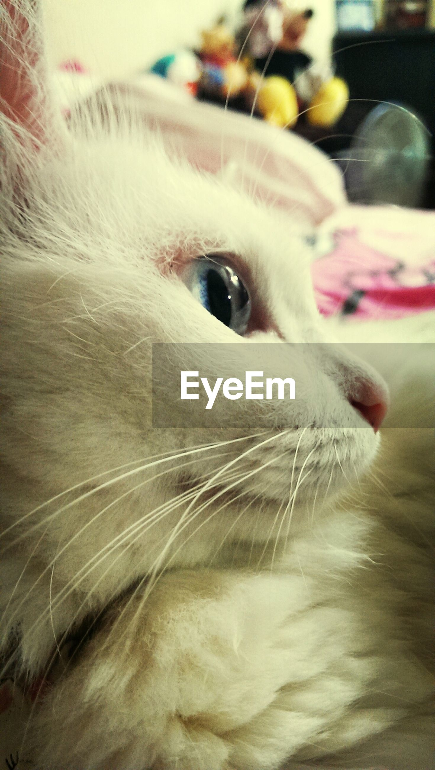 pets, domestic animals, domestic cat, one animal, cat, animal themes, indoors, feline, mammal, close-up, whisker, animal head, focus on foreground, looking away, portrait, no people, selective focus, white color, animal eye