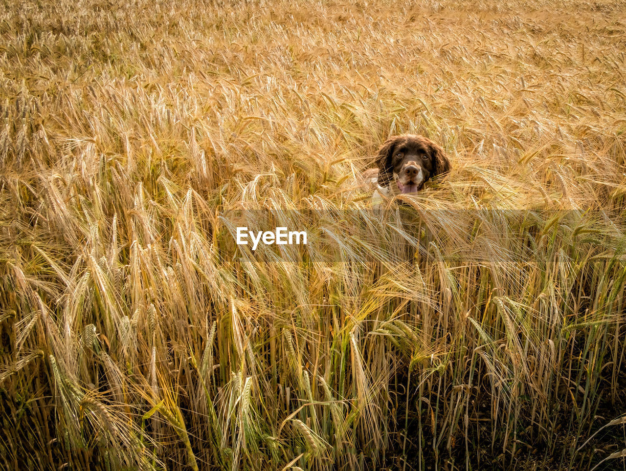 Springer Spaniel Amidst Crops On Field