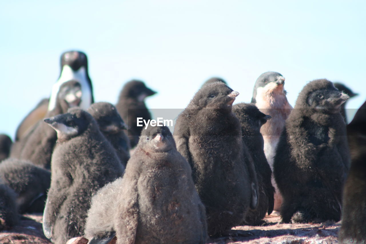 animal themes, animal wildlife, outdoors, day, penguin, animals in the wild, beach, large group of animals, focus on foreground, no people, nature, clear sky, mammal, sea, sky, bird, close-up