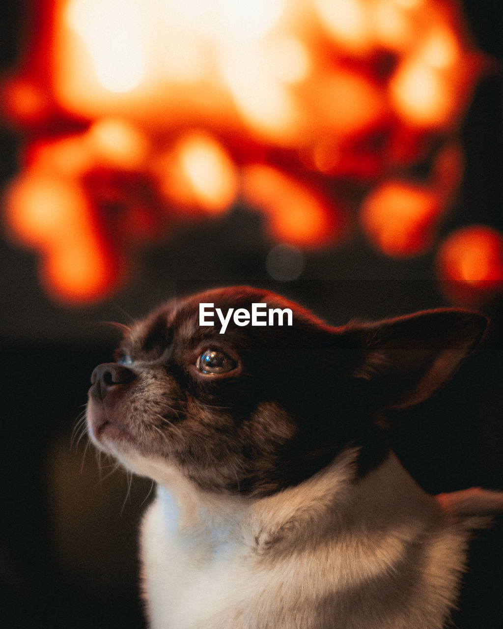 one animal, mammal, animal themes, animal, pets, domestic, domestic animals, vertebrate, dog, focus on foreground, canine, close-up, looking away, looking, indoors, animal body part, no people, lap dog, animal head, chihuahua, small, chihuahua - dog, whisker