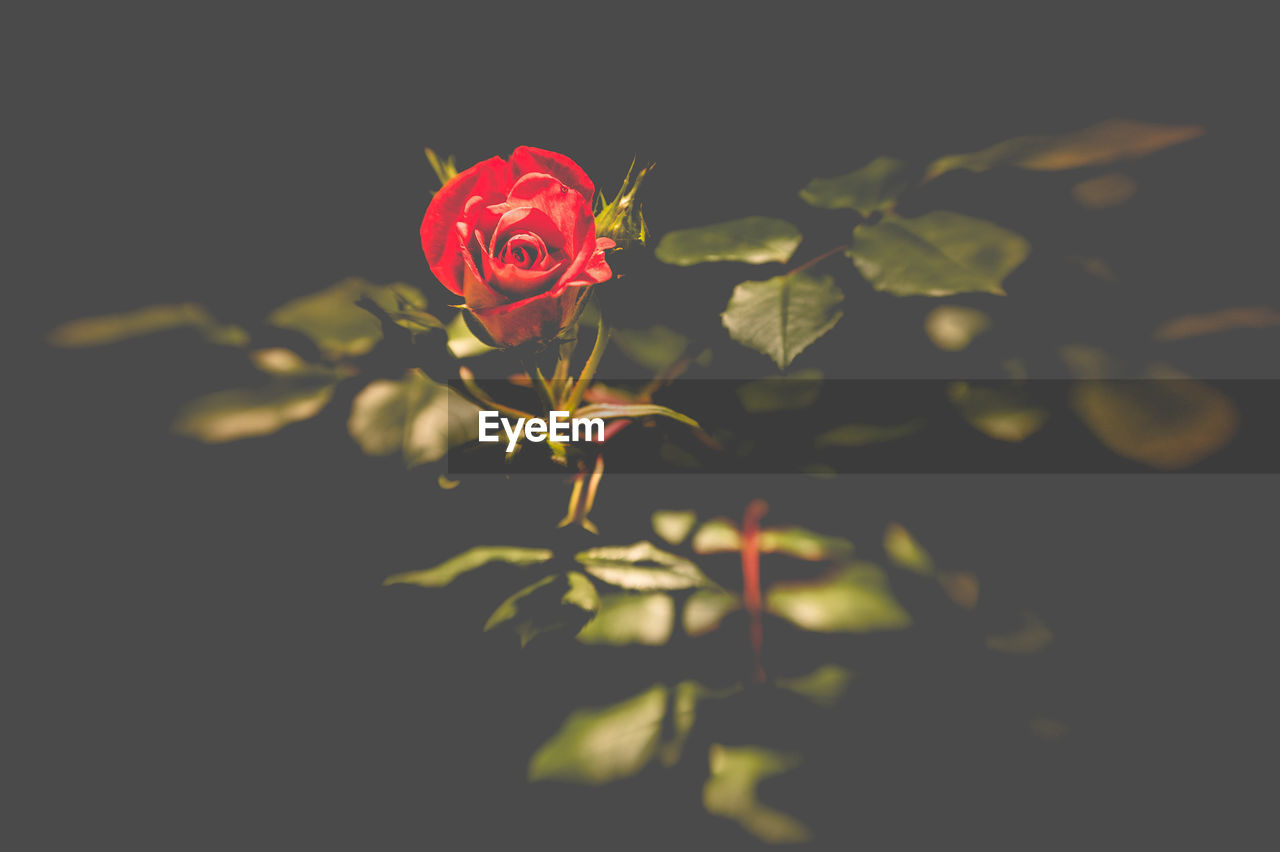flower, plant, flowering plant, beauty in nature, rose, fragility, rose - flower, nature, vulnerability, close-up, freshness, growth, petal, inflorescence, plant part, leaf, red, flower head, no people, selective focus, outdoors, black background