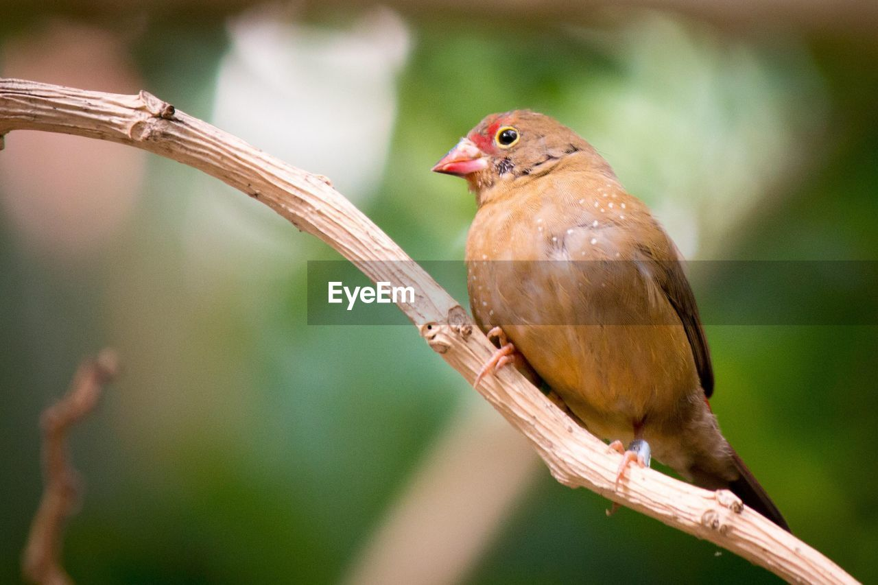 bird, vertebrate, animal themes, animal, one animal, animal wildlife, animals in the wild, perching, focus on foreground, branch, close-up, nature, day, no people, plant, tree, twig, outdoors, songbird, looking, stick - plant part