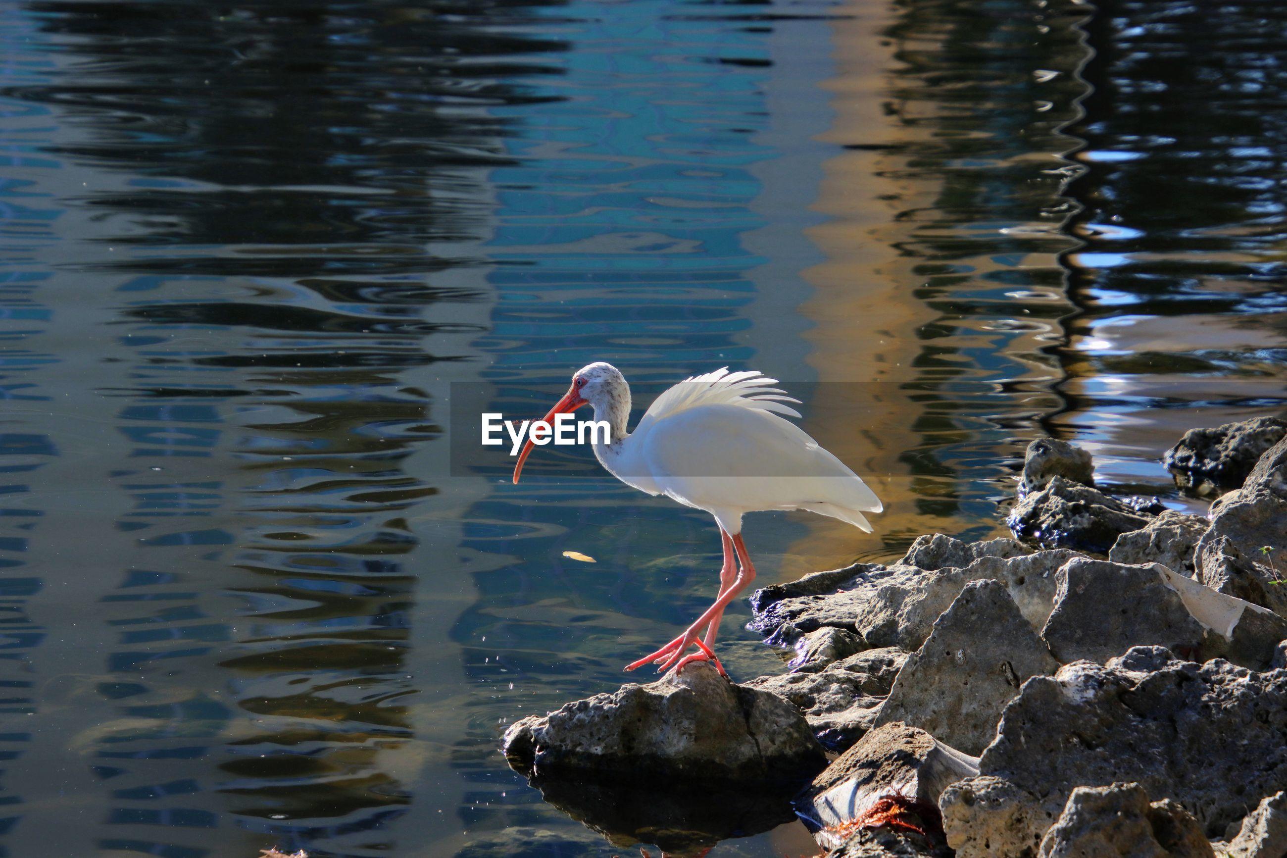 White ibis bird perching on rock in lake