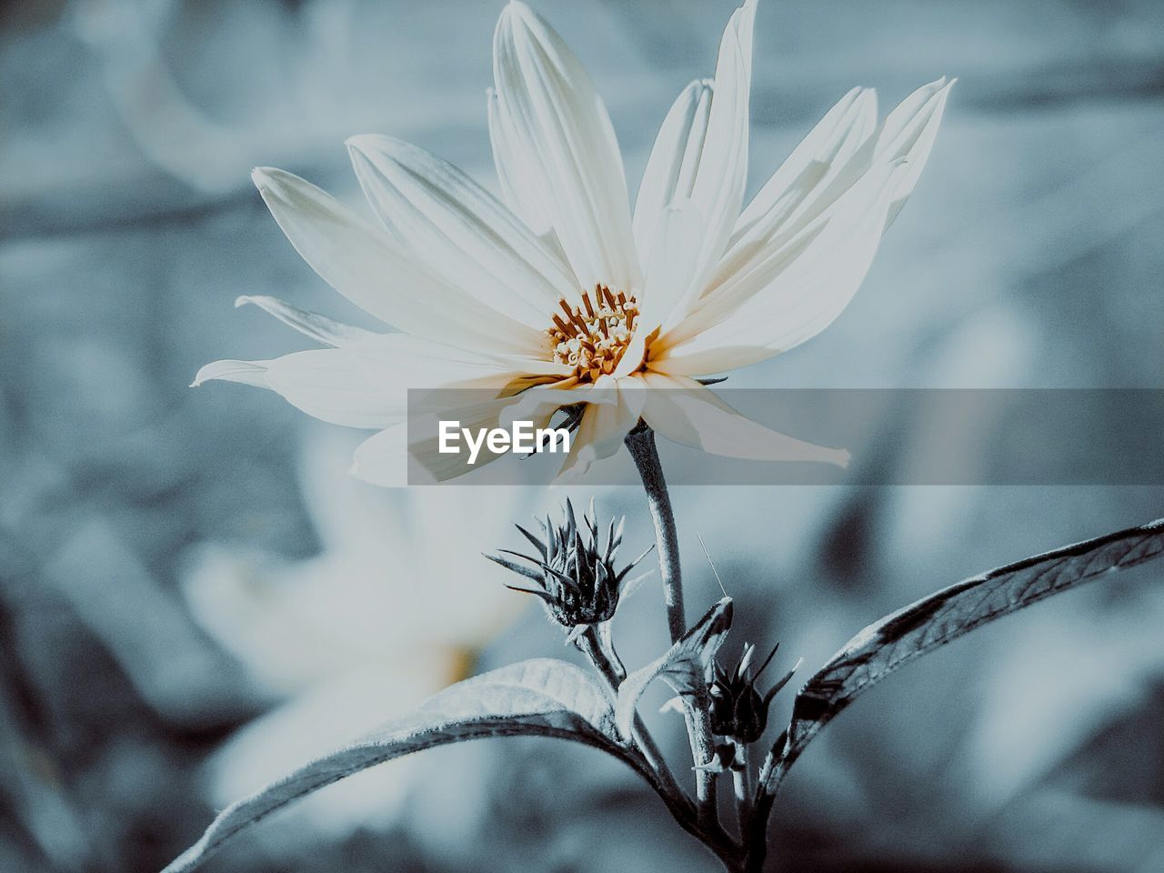 flower, fragility, petal, nature, beauty in nature, white color, freshness, flower head, growth, day, close-up, plant, no people, outdoors, blooming, water