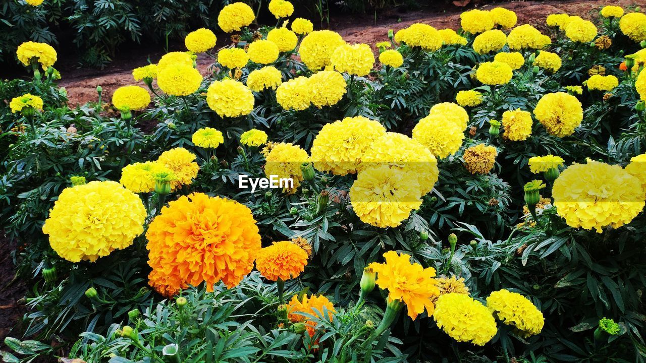 flowering plant, flower, plant, vulnerability, fragility, yellow, beauty in nature, freshness, growth, inflorescence, flower head, petal, marigold, close-up, nature, high angle view, botany, day, no people, park, outdoors, springtime, flowerbed, softness
