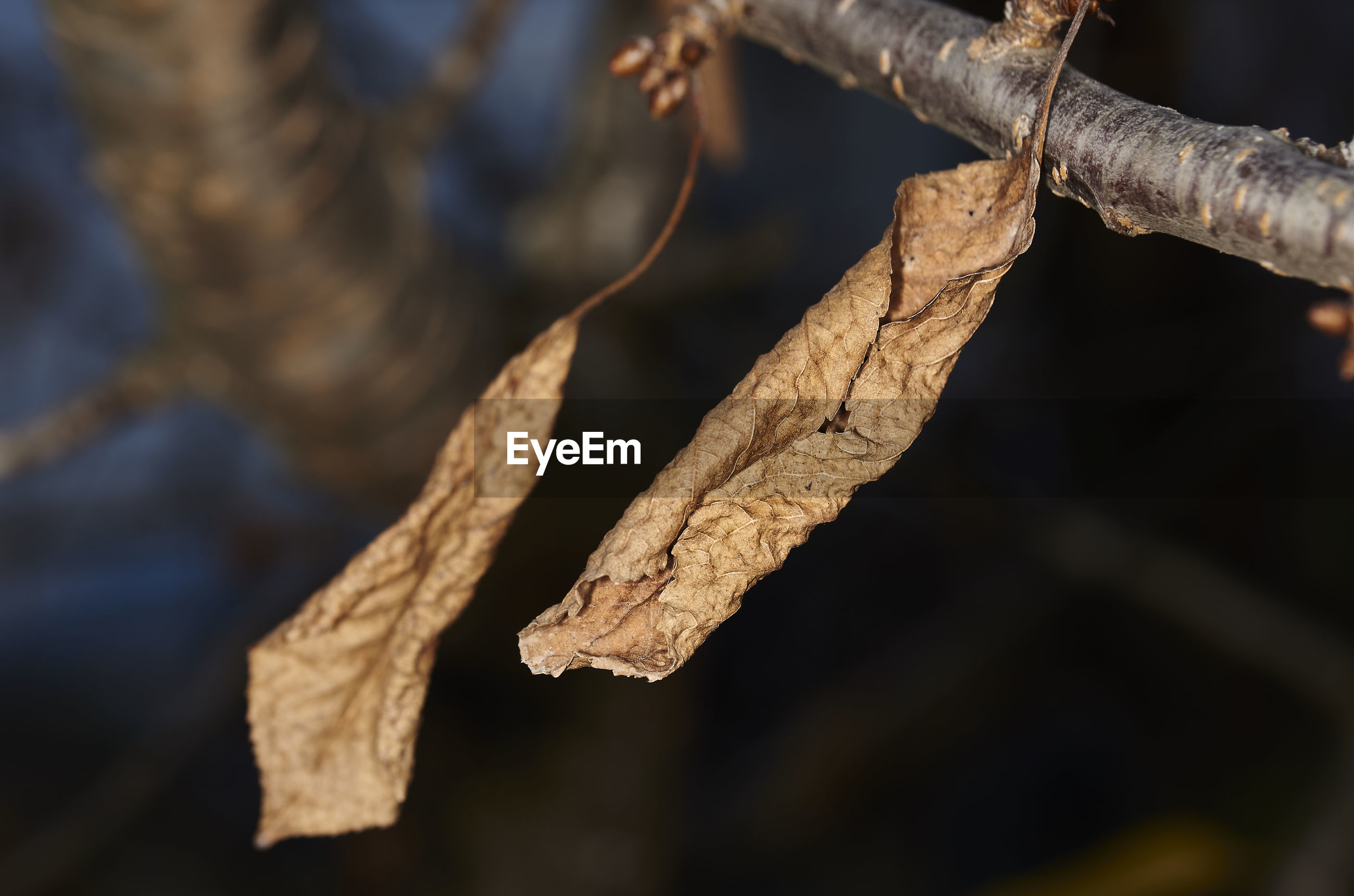 CLOSE-UP OF DRIED LEAVES ON BRANCH