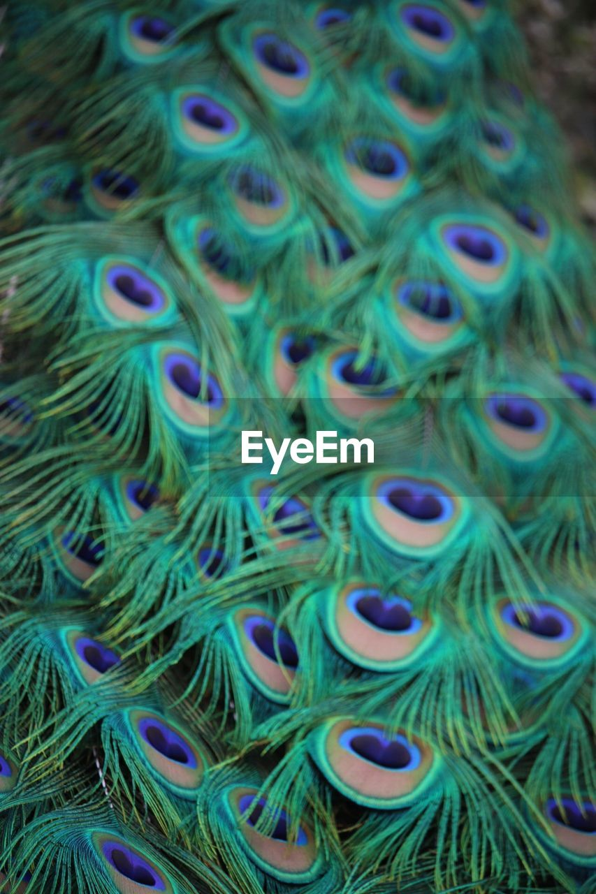 full frame, close-up, backgrounds, no people, blue, multi colored, pattern, peacock feather, softness, feather, peacock, animal themes, abundance, still life, animal, large group of objects, art and craft, day, selective focus, indoors, purple