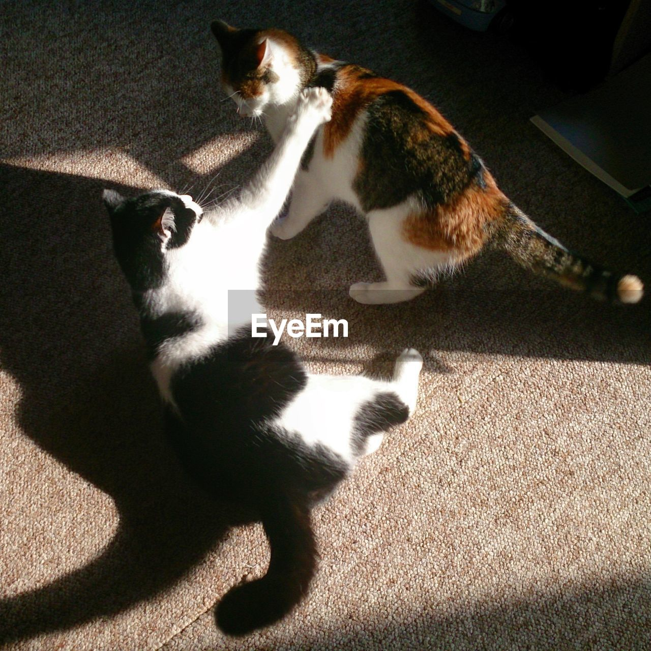 domestic cat, pets, domestic animals, animal themes, cat, mammal, feline, shadow, high angle view, sunlight, indoors, home interior, no people, togetherness, sitting, day, siamese cat, full length