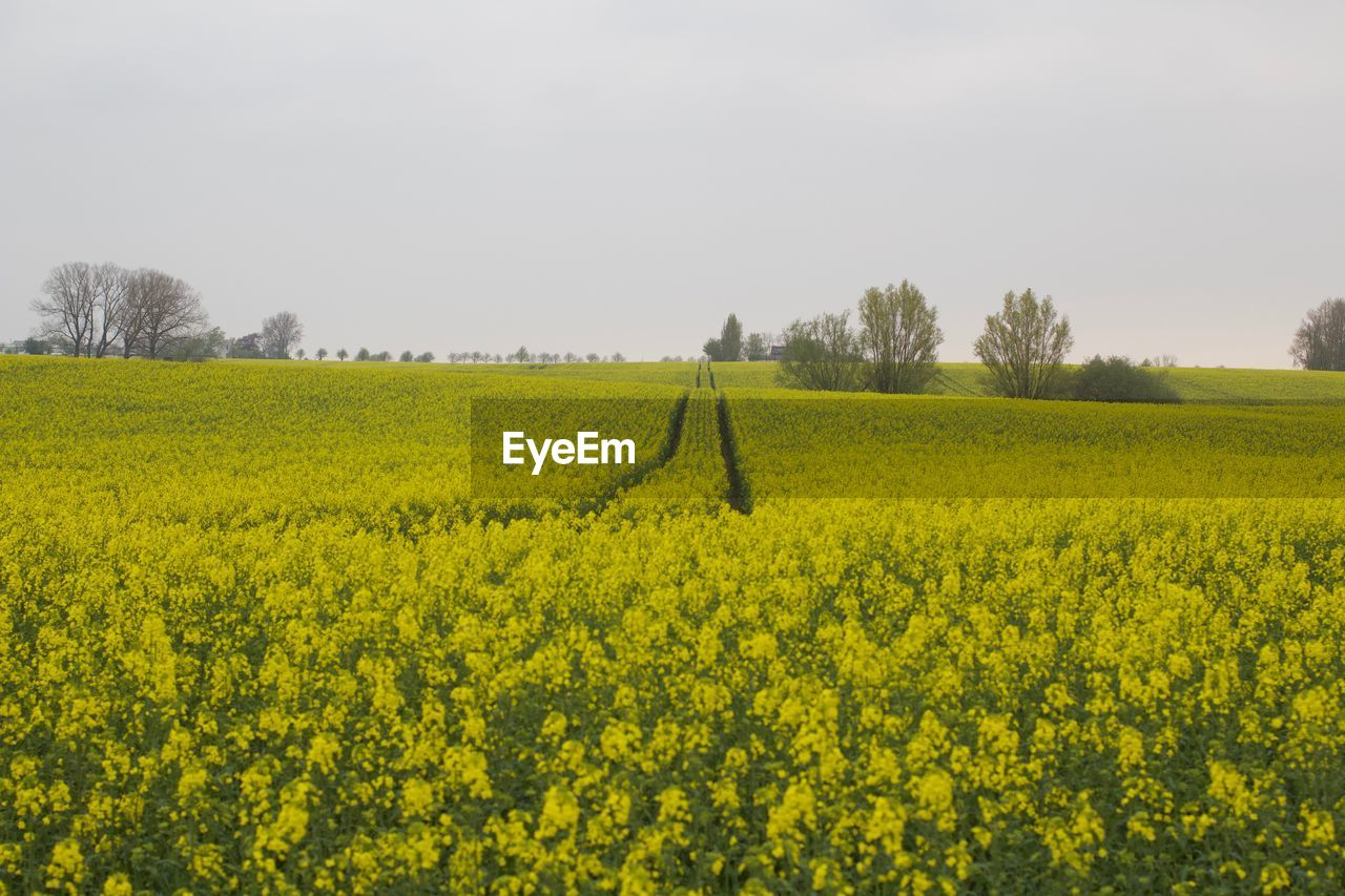 plant, yellow, landscape, beauty in nature, growth, field, land, scenics - nature, rural scene, tranquil scene, flower, agriculture, oilseed rape, sky, tranquility, environment, nature, crop, tree, farm, no people, outdoors, springtime, flowerbed