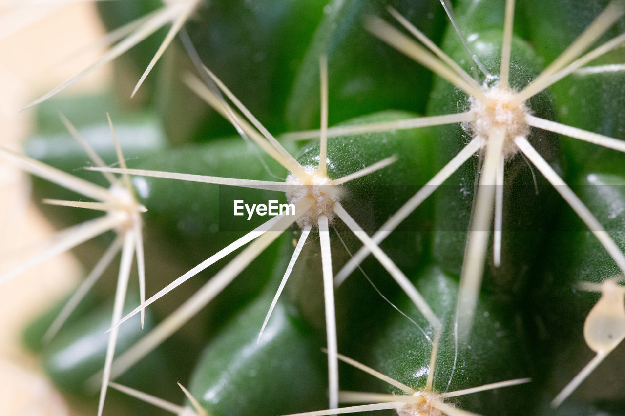 cactus, nature, green color, no people, spider web, close-up, plant, day, outdoors, beauty in nature