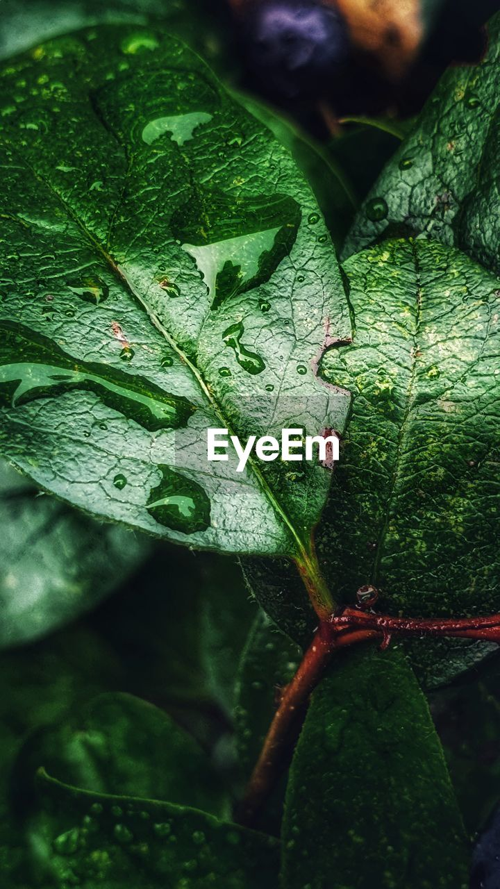 leaf, plant part, green color, close-up, growth, plant, drop, nature, water, wet, no people, day, beauty in nature, focus on foreground, freshness, leaf vein, selective focus, outdoors, animal wildlife, rain, purity, leaves, dew, raindrop
