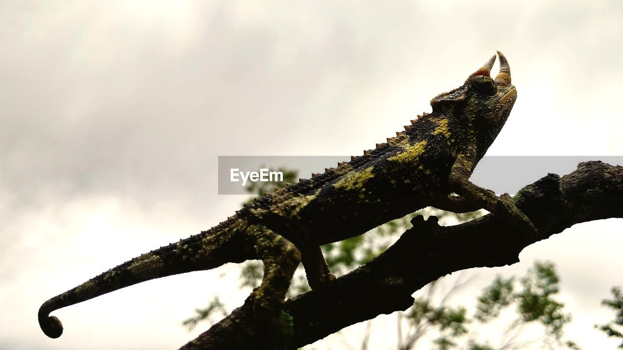 one animal, lizard, animal themes, reptile, no people, sky, day, outdoors, focus on foreground, chameleon, nature, tree, animals in the wild, low angle view, branch, animal wildlife, close-up