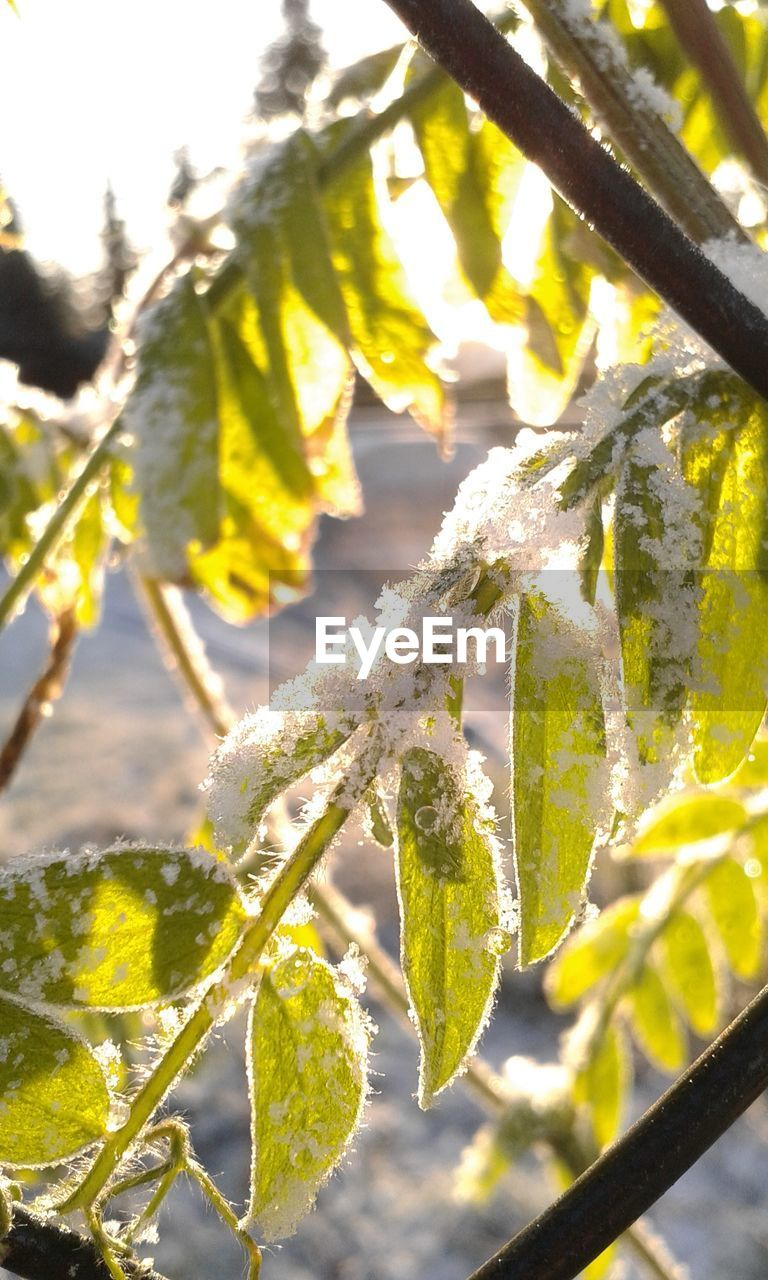 nature, growth, beauty in nature, winter, freshness, close-up, fragility, cold temperature, day, focus on foreground, green color, tree, white color, outdoors, no people, snow, branch, yellow, plant, catkin, flower, frozen