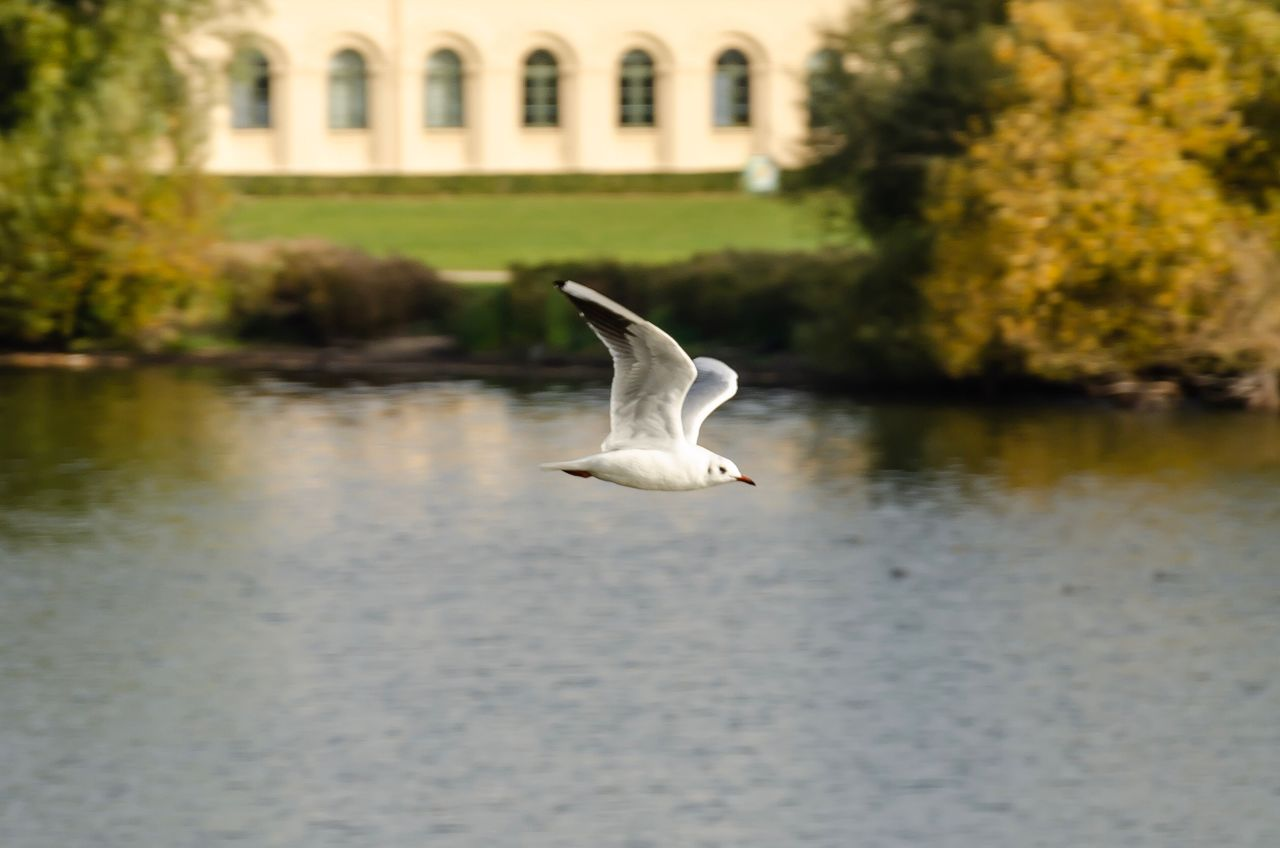 bird, vertebrate, animal themes, animal, animals in the wild, animal wildlife, water, one animal, flying, spread wings, nature, lake, day, no people, focus on foreground, built structure, architecture, white color, waterfront, seagull, outdoors
