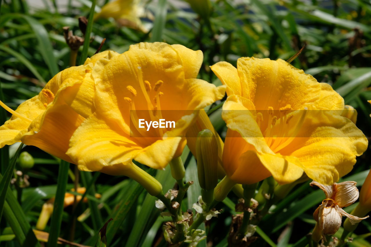 flower, yellow, growth, petal, fragility, nature, beauty in nature, plant, flower head, outdoors, freshness, day, no people, blooming, close-up, day lily