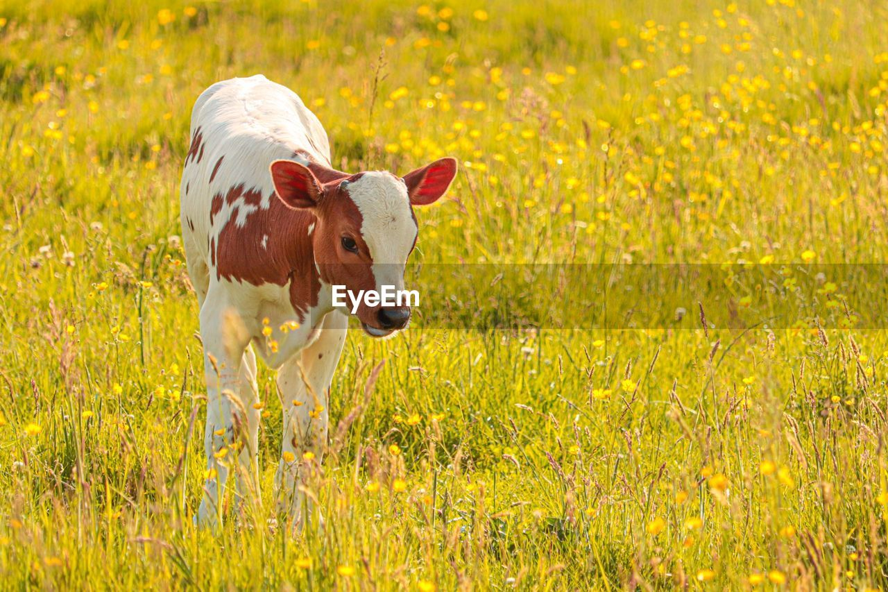 animal, animal themes, mammal, domestic animals, plant, one animal, domestic, field, grass, pets, flower, land, nature, no people, flowering plant, landscape, livestock, standing, beauty in nature, vertebrate, outdoors, springtime