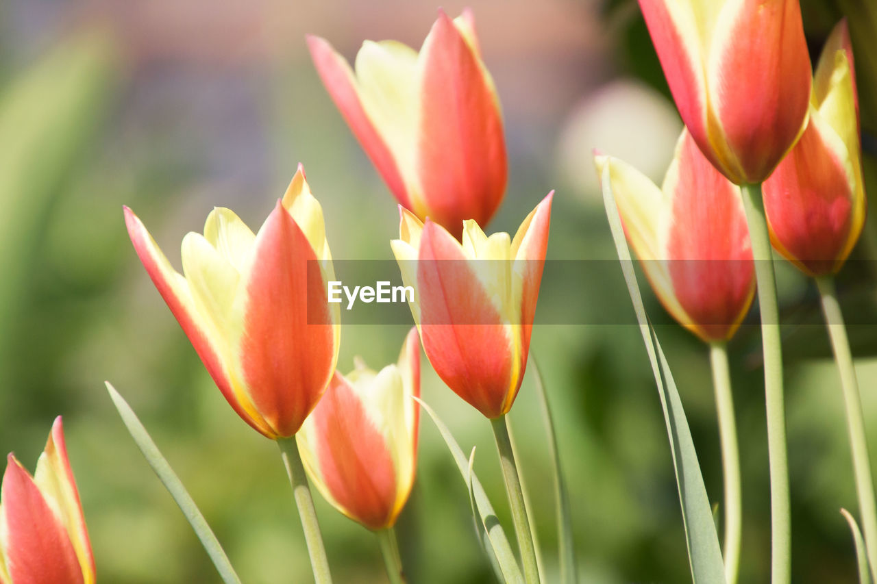 plant, flower, beauty in nature, growth, flowering plant, freshness, close-up, fragility, vulnerability, petal, day, no people, inflorescence, nature, focus on foreground, flower head, field, green color, outdoors, tulip