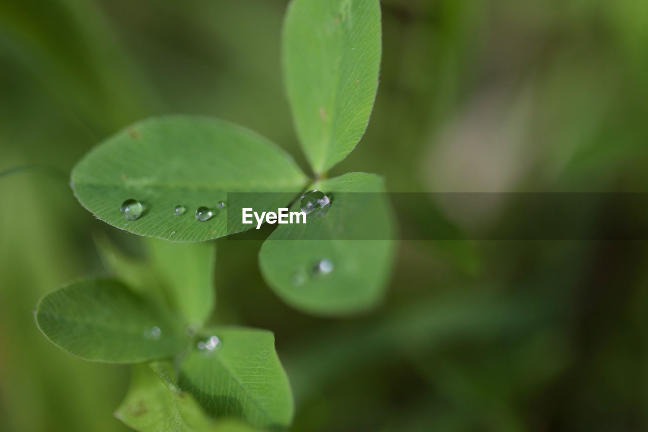 leaf, plant part, drop, green color, plant, water, growth, wet, beauty in nature, close-up, nature, freshness, no people, day, selective focus, vulnerability, focus on foreground, fragility, outdoors, rain, raindrop, leaves, dew, purity, clover, rainy season