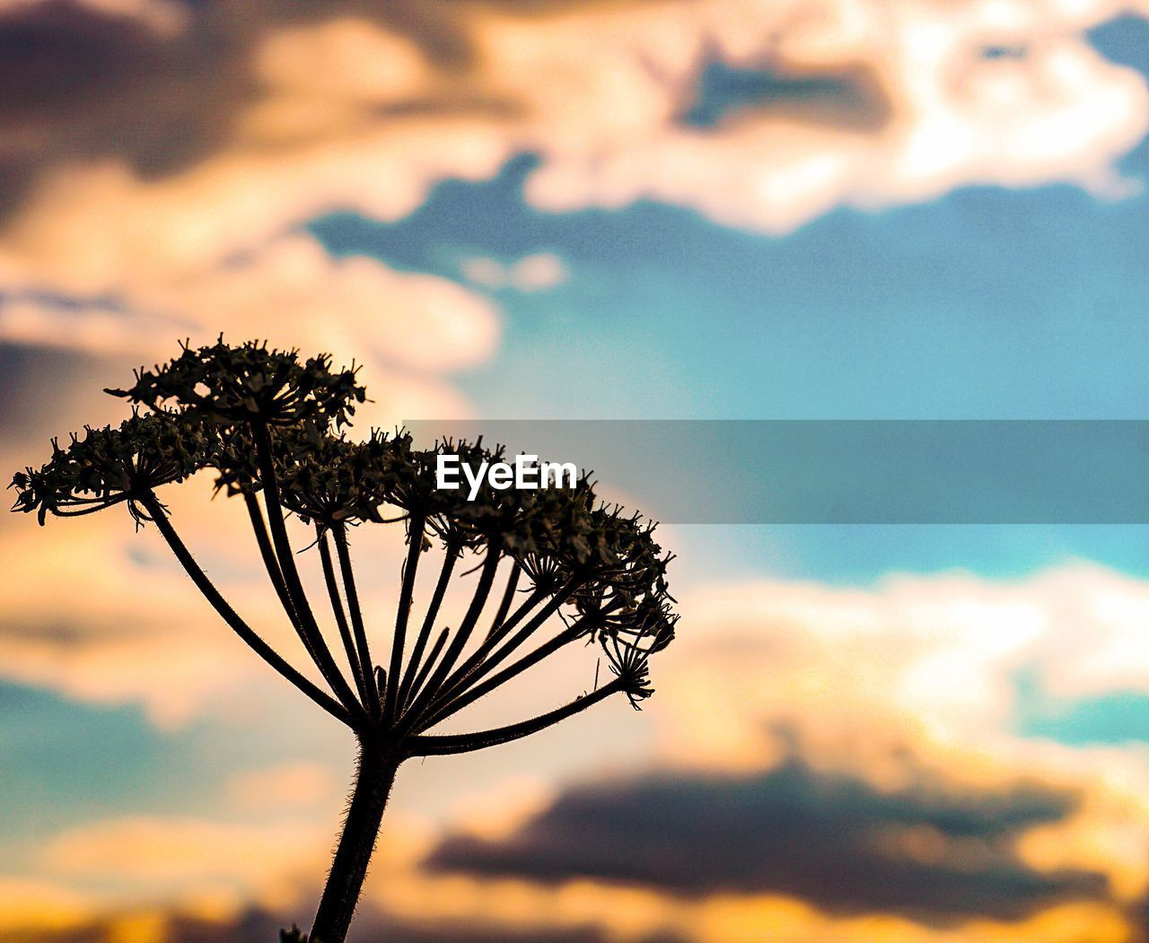 plant, sky, cloud - sky, beauty in nature, focus on foreground, nature, growth, sunset, no people, flower, flowering plant, tranquility, close-up, tree, silhouette, outdoors, fragility, scenics - nature, vulnerability, low angle view, flower head, sepal