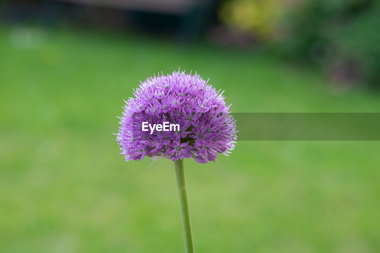 flower, fragility, nature, growth, purple, beauty in nature, flower head, freshness, petal, plant, focus on foreground, close-up, no people, day, outdoors, springtime, blooming, thistle