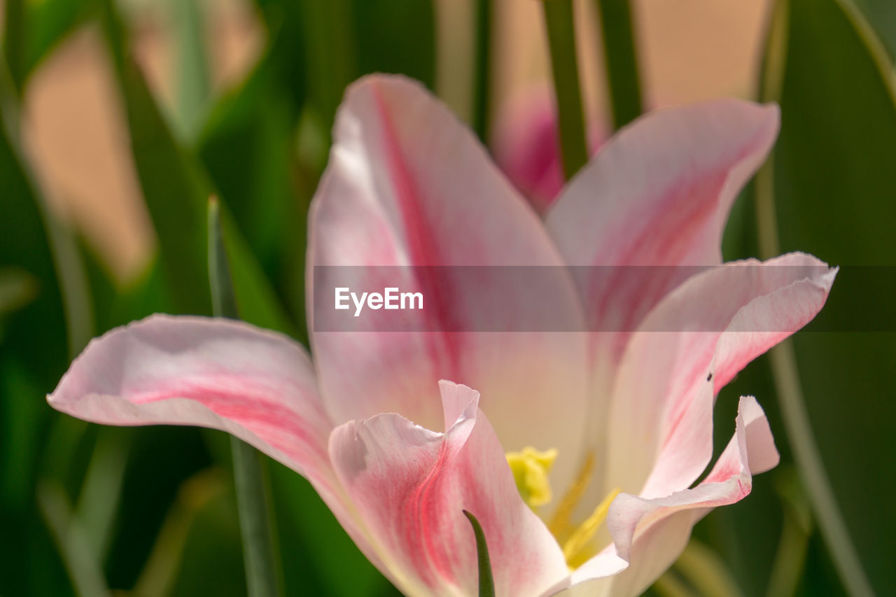 flowering plant, flower, vulnerability, fragility, petal, beauty in nature, plant, freshness, growth, close-up, inflorescence, flower head, pink color, nature, focus on foreground, day, no people, lily, outdoors, selective focus, pollen