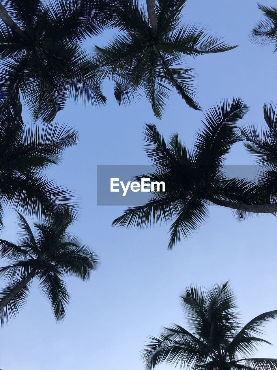 sky, palm tree, tree, tropical climate, low angle view, plant, beauty in nature, growth, no people, nature, clear sky, tranquility, outdoors, day, scenics - nature, blue, silhouette, tranquil scene, palm leaf, backgrounds, coconut palm tree, directly below