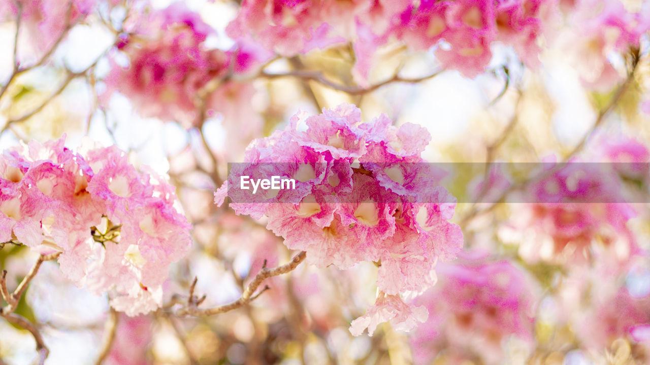 CLOSE-UP OF PINK CHERRY BLOSSOM TREE