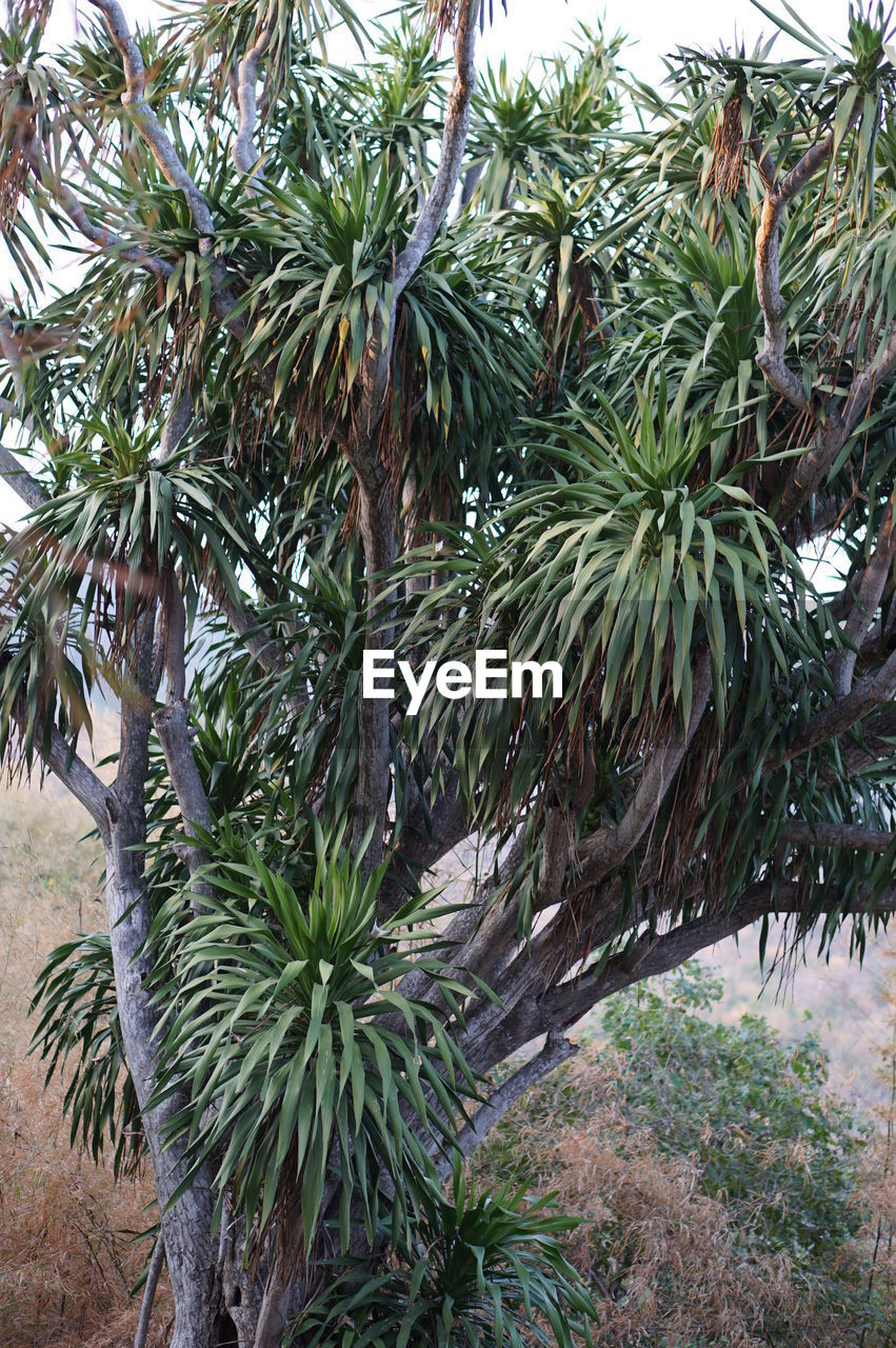 tree, plant, growth, green color, nature, no people, leaf, day, branch, beauty in nature, plant part, tranquility, outdoors, tropical climate, palm tree, land, pine tree, close-up, low angle view, coniferous tree, needle - plant part