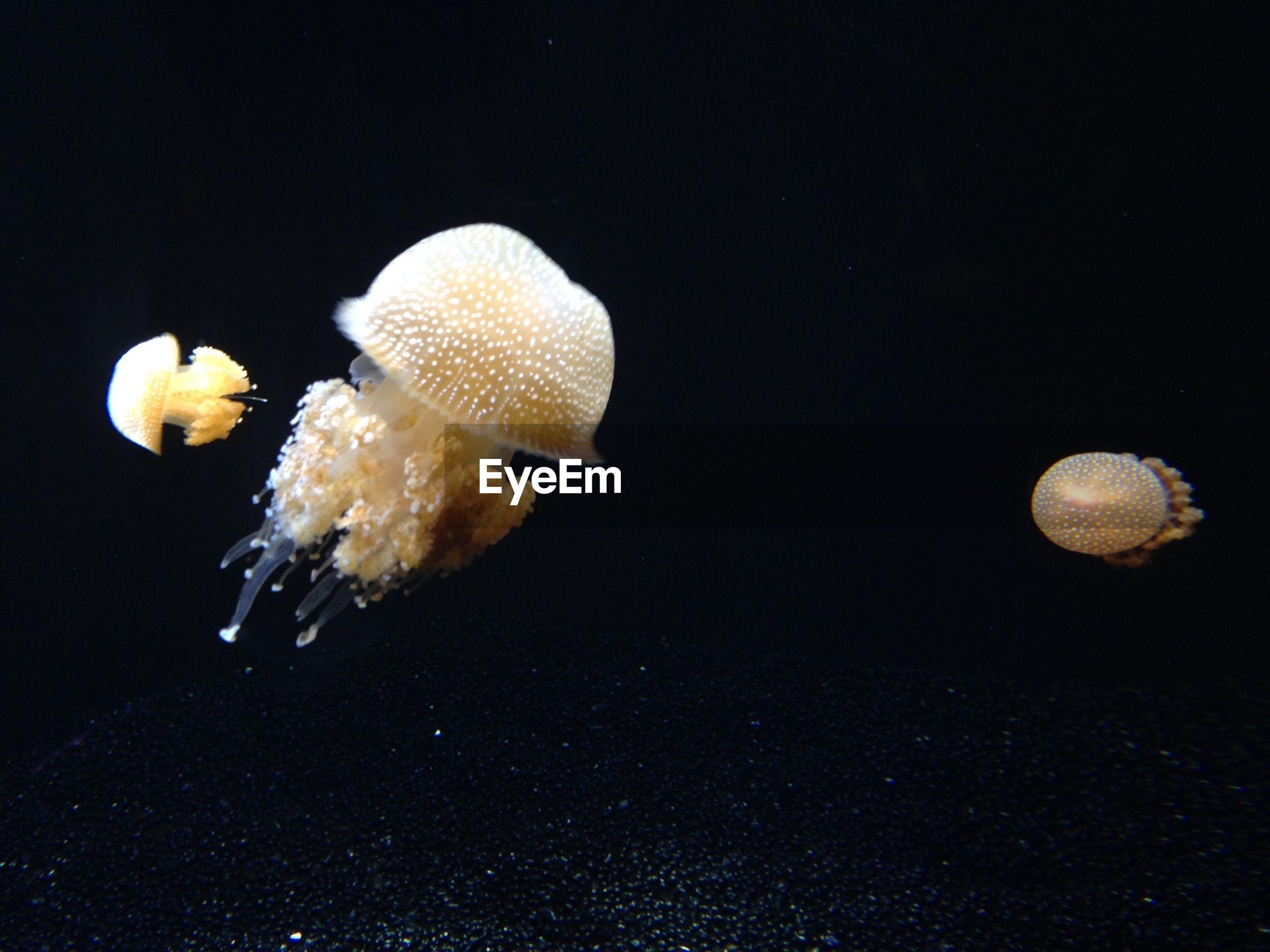 Jellyfishes swimming underwater at monterey bay aquarium