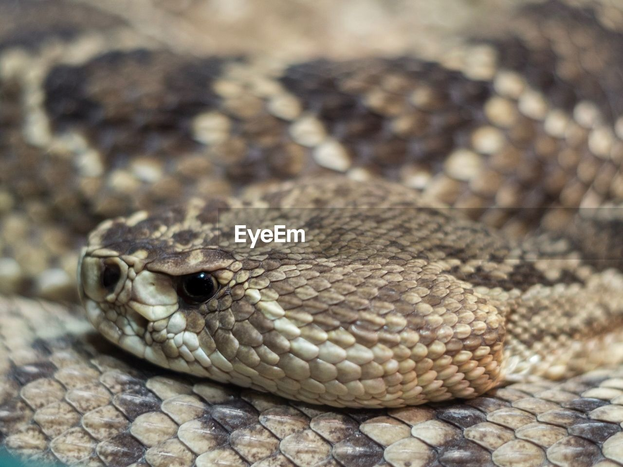reptile, snake, one animal, animal themes, animal, animal wildlife, animals in the wild, vertebrate, close-up, animal body part, no people, animal scale, focus on foreground, pattern, animal head, day, natural pattern, nature, brown, animal markings, poisonous, animal eye