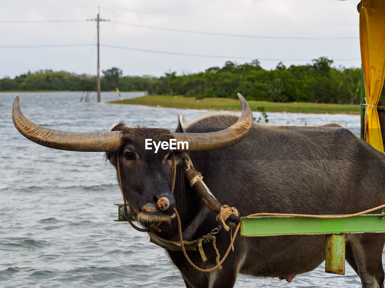 Horned Bull Tied To Cart By Lake