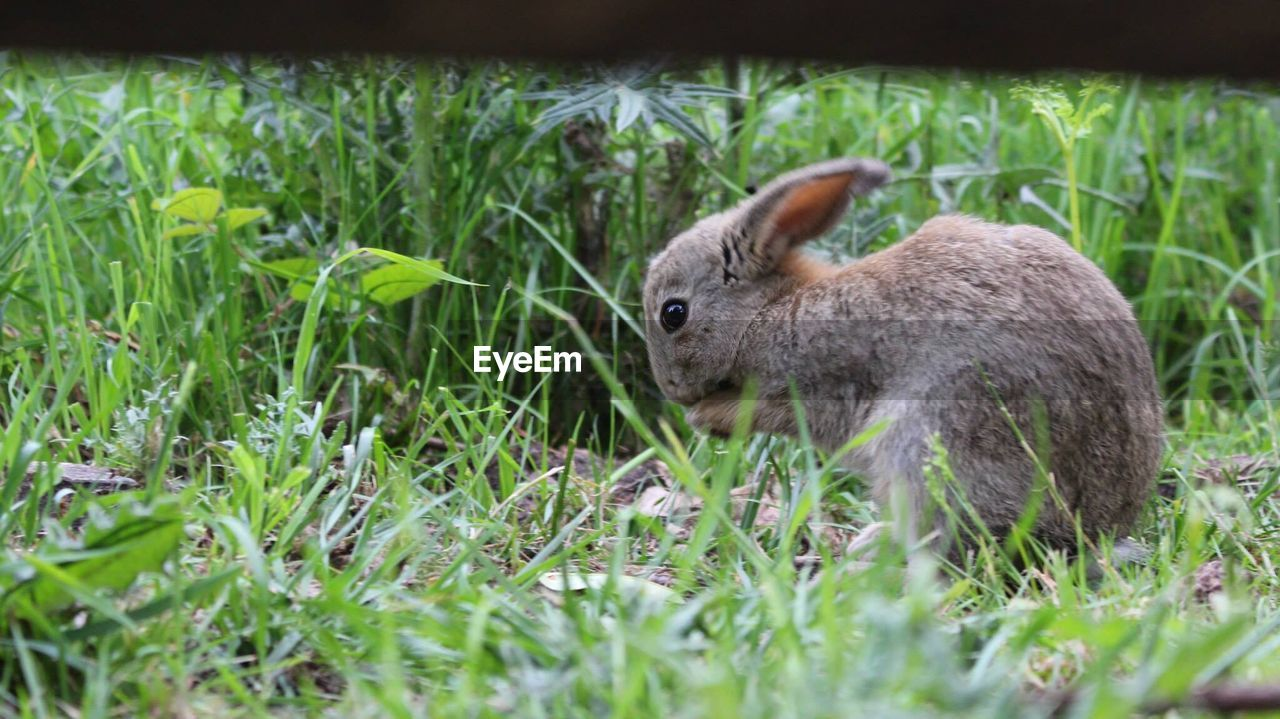 animal, animal themes, grass, animal wildlife, one animal, mammal, animals in the wild, plant, nature, day, no people, land, vertebrate, green color, field, side view, selective focus, outdoors, rodent, rabbit - animal, herbivorous