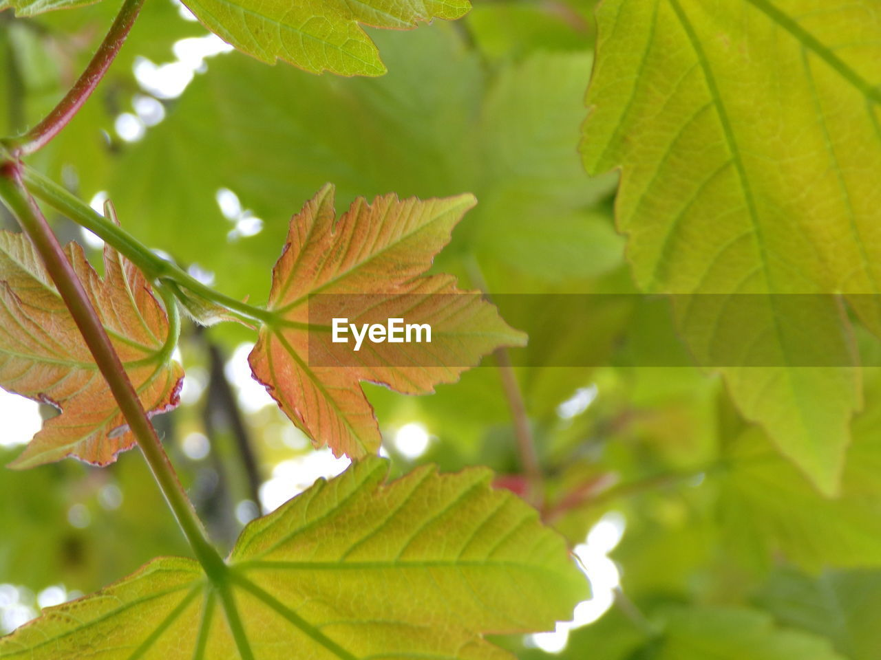 plant part, leaf, plant, growth, green color, close-up, nature, beauty in nature, day, leaf vein, focus on foreground, tree, leaves, no people, autumn, outdoors, maple leaf, change, natural pattern, green