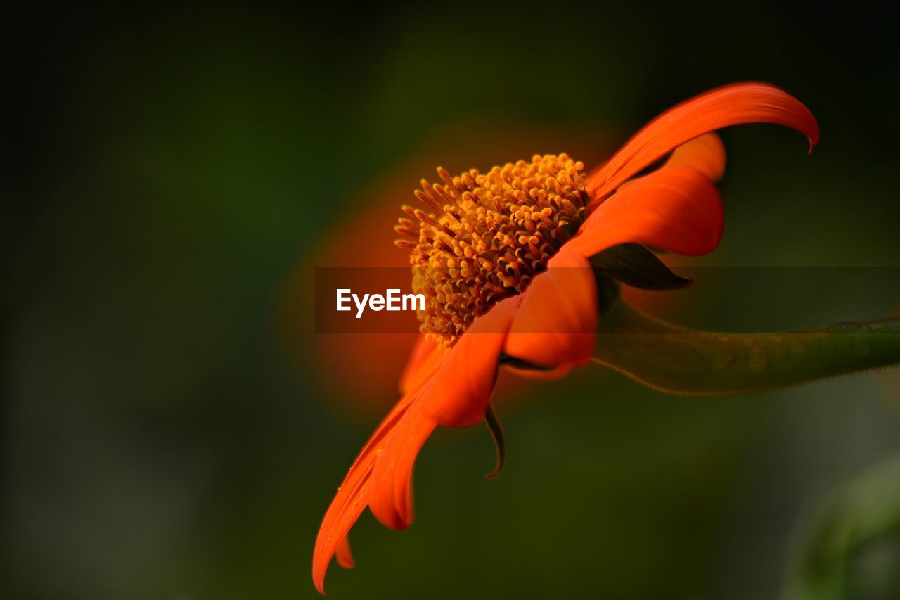 flowering plant, flower, plant, fragility, close-up, vulnerability, petal, beauty in nature, freshness, growth, flower head, inflorescence, orange color, focus on foreground, nature, no people, pollen, outdoors, day