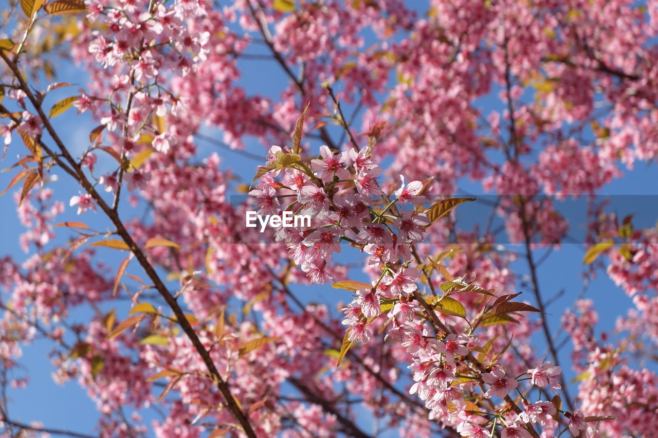 flower, beauty in nature, tree, growth, fragility, blossom, nature, branch, springtime, freshness, low angle view, day, botany, no people, pink color, outdoors, apple blossom, petal, twig, blooming, close-up, sky, flower head