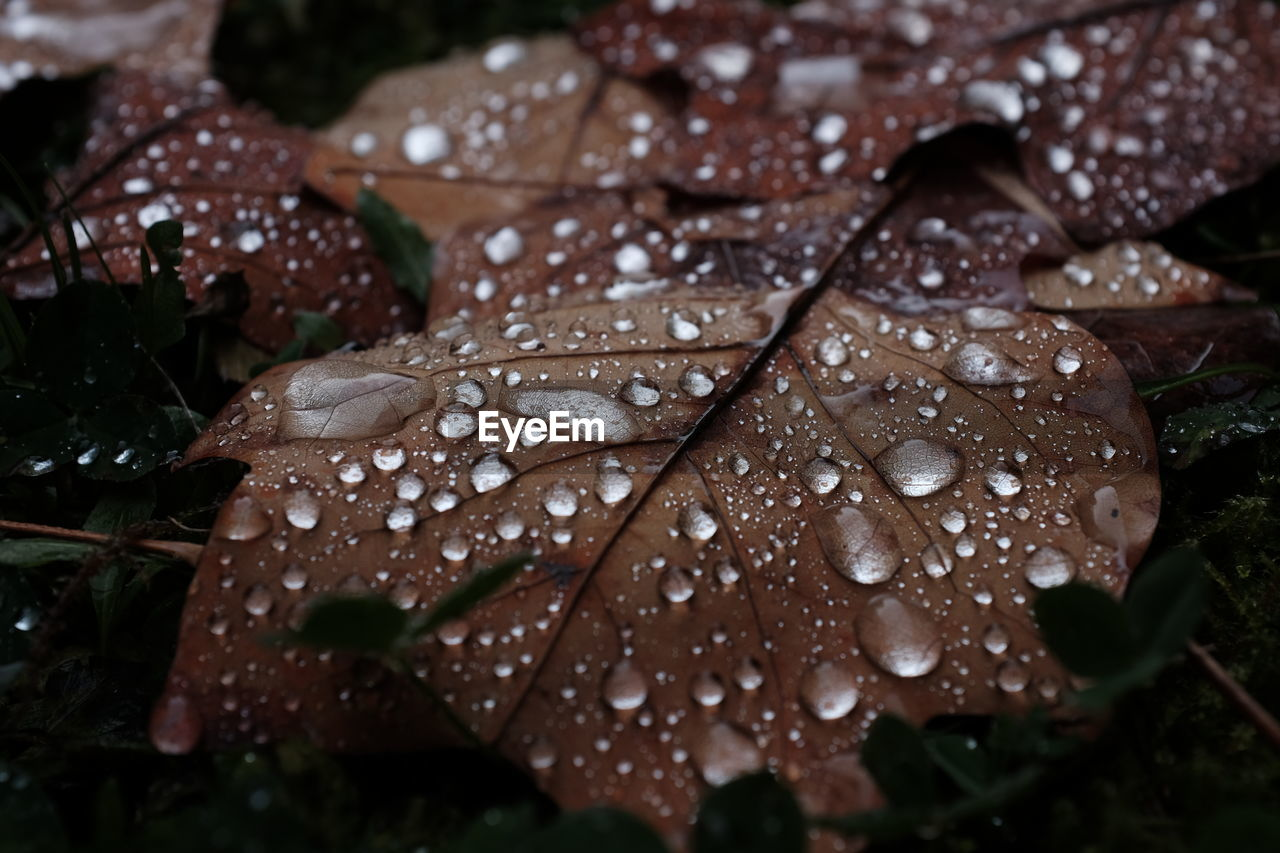 drop, leaf, water, nature, wet, beauty in nature, autumn, no people, raindrop, day, close-up, outdoors, fragility, maple, freshness