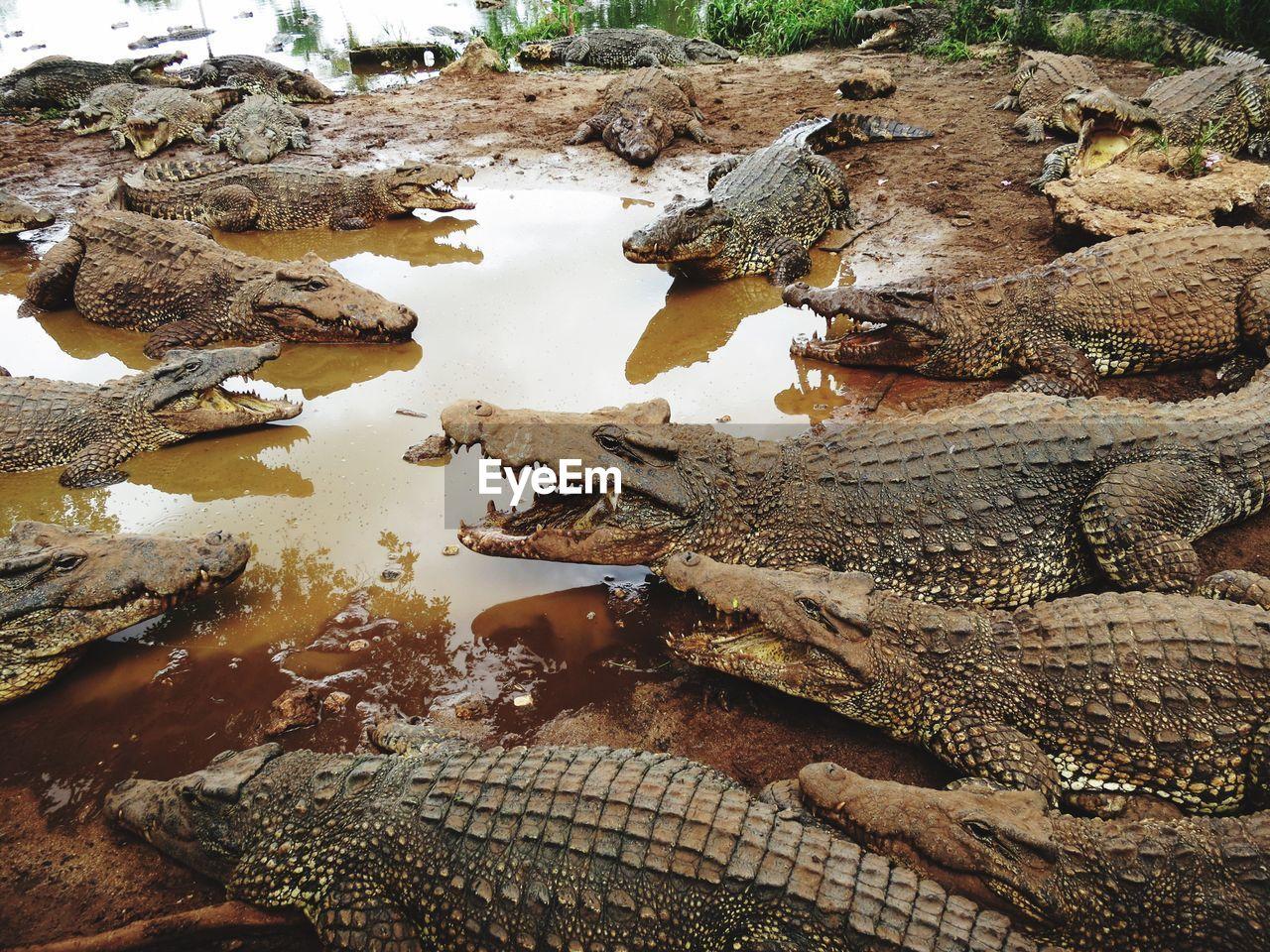 High angle view of crocodiles at lakeshore