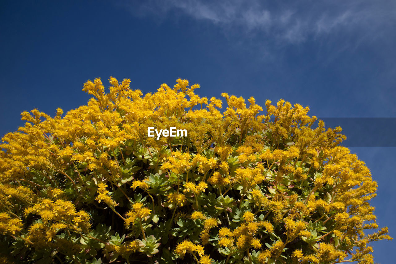 yellow, flower, beauty in nature, flowering plant, freshness, plant, growth, fragility, vulnerability, sky, oilseed rape, nature, field, day, agriculture, no people, land, abundance, mustard plant, close-up, outdoors, springtime, flower head