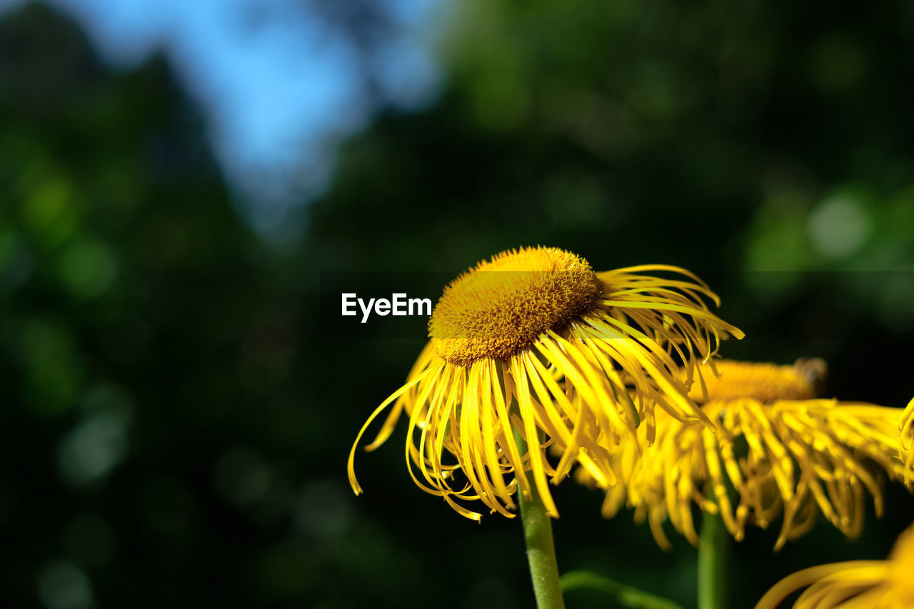 flower, flowering plant, yellow, fragility, vulnerability, plant, beauty in nature, freshness, growth, flower head, inflorescence, close-up, petal, focus on foreground, nature, pollen, day, no people, coneflower, outdoors, sepal