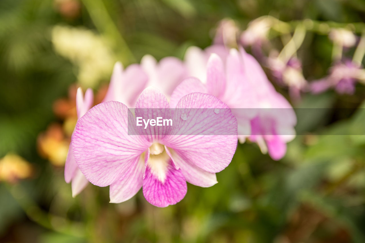 Close-up of pink orchids blooming in garden