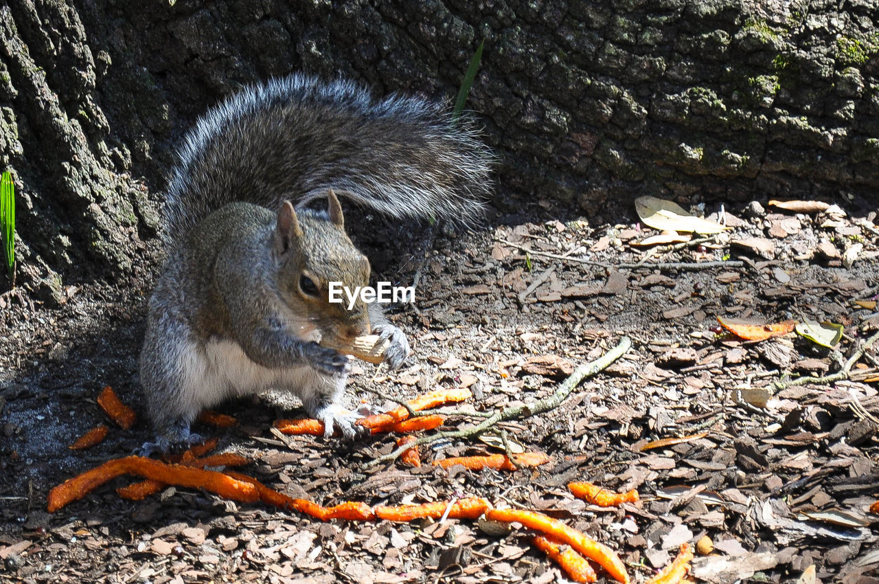 High angle view of squirrel eating peanut on field