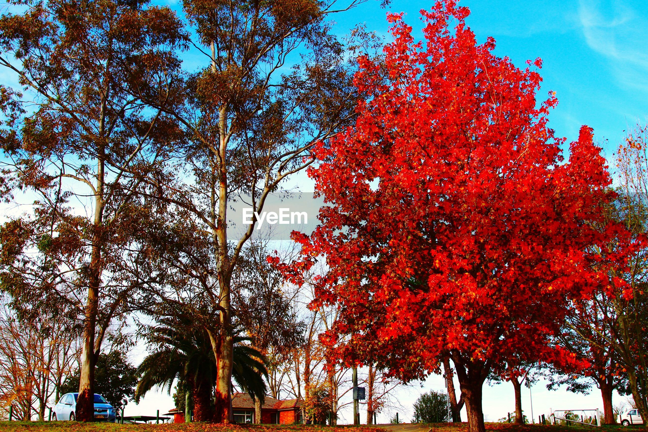 tree, autumn, low angle view, change, growth, branch, orange color, season, beauty in nature, nature, sky, tranquility, scenics, blue, day, tree trunk, outdoors, tranquil scene, leaf, sunlight